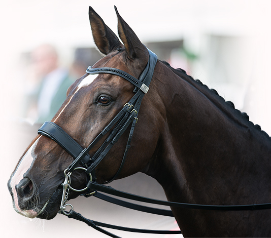 Goodmans Super Nova wearing the Fairfax Perfromance Bridle